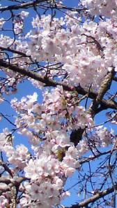 桜も満開近し