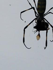 クモ対カメムシ