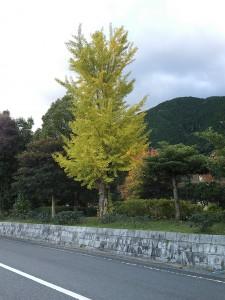 紅葉(銀杏の木)