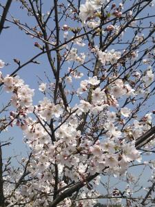 桜も満開かな?