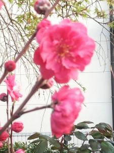 庭先の花4