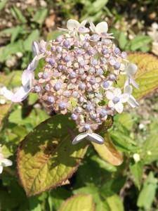 2015520紫陽花