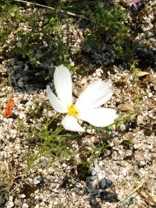 H27.05.25早咲きコスモス