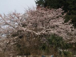 桜満開かな?
