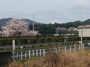 桜満開だよ2